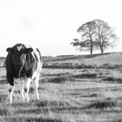 IMG_20141006_203622 (ali_smith91) Tags: uk england field landscape countryside cow cattle bullock farm gb calf