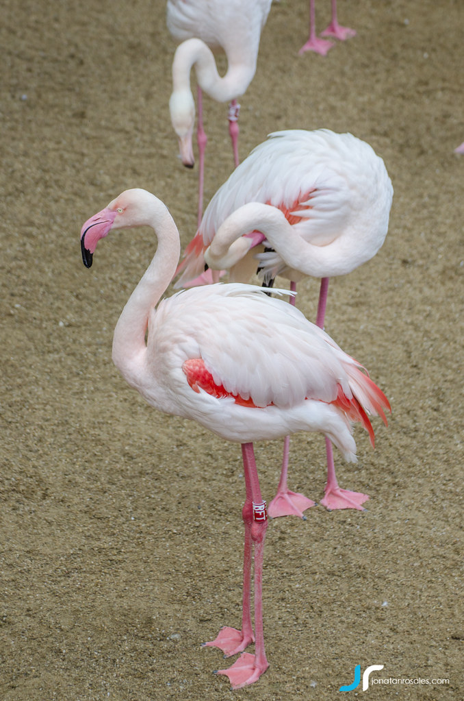 5d1d8d969 The World's newest photos of flamencos and zoo - Flickr Hive Mind