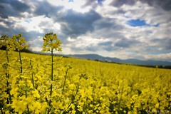 Field of oilseed rape i