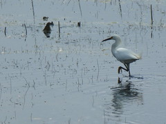 Wading Bird (Kelson) Tags: california nature water birds hike wetlands marsh southerncalifornia southbay torrance madronamarsh