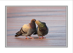 We were both young when I first saw you ..... (UNTIL THEN...) Tags: ca bird beach kiss pigeon huntington wetlands bolsachica
