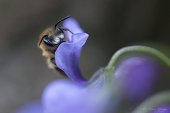 Day 11  |  Honey Bee (AGriggsy) Tags: flower macro up wings eyes close purple head bee honey antenna