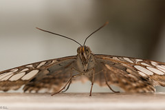 IMG_0595.jpg (Sven Lau) Tags: butterfly makro nahaufnahme schmetterling 2014