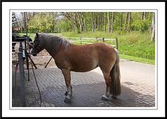 Manen en Staart (gill4kleuren - 11 ml views) Tags: horse me sarah fun was cleaning gill washing sar saar paard haflinger wassen