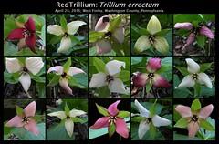 Red Trillium Variations_2015.04.28 (Urutu_From_SW_PA) Tags: trillium wildflowers wildflower redtrillium trilliaceae trilliumerrectum wildflowersofpennsylvania stinkrobin