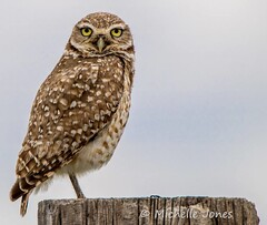 May 6, 2015 - A Burrowing Owl stands proud in Adams County. (Michelle Jones)