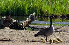 _MG_2487 (mynor_campos) Tags: wood lake canada duck nest crane ducklings burnaby boxes sandpiper geeze mynorcampos