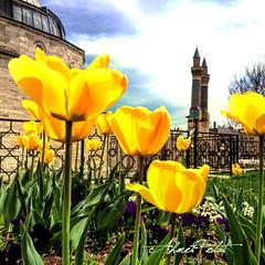 Sivas'ta Bahar (Ahmet POLAT) Tags: flowers flower green grass yellow spring day tulips sunny tulip minarets ifteminare bahar iek sar minare ahmet sivas lale gn polat gneli laleler
