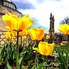 Sivas'ta Bahar (Ahmet POLAT) Tags: flowers flower green grass yellow spring day tulips sunny tulip minarets çifteminare bahar çiçek sarı minare ahmet sivas lale gün polat güneşli laleler