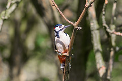 Woodpecker  3 (Vinny Burns) Tags: england bird canon eos woodpecker unitedkingdom gb 2016 ticknall calkeabbey ef400mmf56lusm 5dmkiii 5dmk3 5d3 5dmarkiii vinnyburns