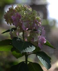IMG_8694.CR2 (jalexartis) Tags: flowers flower spring bloom hydrangea blooms shrub shrubbery pinkhydrangea