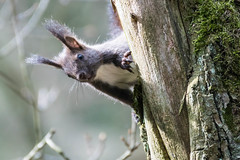 Was ist da unten los ? - What is going on down there ? (ralfkai41) Tags: tree nature animal forest tiere squirrel outdoor natur wald baum eichhrnchen wildtiere