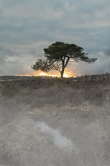 SCOTS PINE - SWAY (mark_rutley) Tags: hampshire newforest sway lonetree singletree scotspine mist fog heather bracken