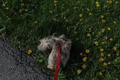 Lelah (bbandaa) Tags: flowers summer dog pet green yorkie grass animal contrast canon puppy rebel weed small shitzu dandelions doge lelah