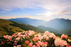 Morning Light /  (Cheng-Yang, Chen) Tags: sunrise canon taiwan rhododendron 6d  nantou  alpinerose hehuanshan    mthehuan  ef1635mmf4lisusm