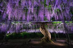 Wisteria Rain (Piriya Pete Wongkongkathep) Tags: toshigi japan ashikaga wisteria flower spring bloom purple night light