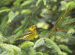 Thinking of the Cape (glenda.suebee) Tags: ohio yellow spring colorful wildlife may cape 1200 f56 mellow 400mm 2016 warblers iso500 canon70d glendaborchelt