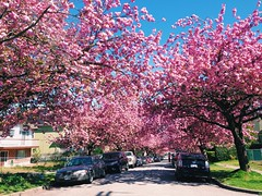 Cherry Blossoms! (Bhlubarber) Tags: pink urban flower tree nature st mobile cherry mt blossom main pleasant iphone