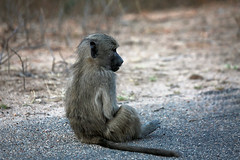 South African countdow (crafty1tutu (Ann)) Tags: travel wild baby holiday animal southafrica outdoor young baboon krugernationalpark 2015 anncameron inthewild roamingfree canon100400mmlens naturethroughthelens canon5dmkiii crafty1tutu naturescarousel