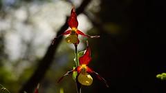 Amazing Elegance (rare Ladys Slipper Orchid) (bandit4czm) Tags: gelbfrauenschuh cypripediumcalceolus ladysslipper orchid orchidee artenschutz roteliste selten lechweg lech lechauen lechtal tirol ausserfern