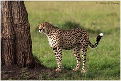 The Spotted Feline! (MAC's Wild Pixels) Tags: kenya ngc npc wildanimal cheetah wildcat cheetahs wildafrica cheetahbrothers maasaimaragamereserve coth5 spottedbeauty cheetahcoalition spottedfeline macswildpixels thespottedfeline