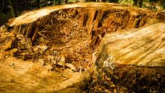 a wooden caldera? (grahamrobb888) Tags: scotland woods perthshire panasonic stump tz60 tz60sunny