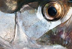 {EXPLORED] Eye of the Silver King (Fly to Water) Tags: tarpon eye original professional photography fly fishing campeche macro close up sabalo sbalo 2009 explore explored
