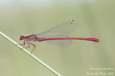 Small Red Damsel - Ceriagrion tenellum (de Villers, 1789) ( BlezSP) Tags: male sicily macho sicilia ceriagriontenellum