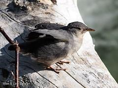 utah_birds 1 (len.sander) Tags: birds dippers zba