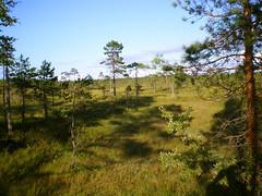 Soft kauhaneva swamp (Jussi Valtari) Tags: sky tree pine landscape soft swamp kauhaneva