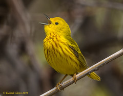 Yellow Warbler (Setophaga petechia) (danielusescanon) Tags: ohio singing birding migratory animalplanet hotspot yellowwarbler birdperfect setophagapetechia