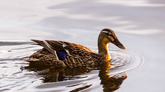 """""""So long...""""-3 (grahamrobb888) Tags: water scotland duck spring perthshire sigma relaxed clunieloch nikond800 sigma120400mm"""