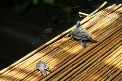Follow me (biglo_de) Tags: turtle insel mainau schildkrte inselmainau