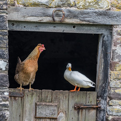Farmyard Friends - Chicken and Domestic Duck. (DP the snapper) Tags: door chickens birds barn duck horseshoe hen talybontonusk