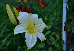 Just a Dash of Lemon (BKHagar *Kim*) Tags: plants flower nature yard garden al colorful lily blossom outdoor alabama bloom tanner momdadsyard bkhagar