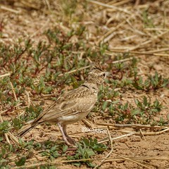 #_  _        Crested_Lark   Galerida_Cristata  # # #  #bird #birds #hdr # #hdr #photo # # # #ksa #saudiarabia #goodevening #Instagood #Beautiful #Follow (photography AbdullahAlSaeed) Tags: night beautiful goodevening birds   instagood  hdr  friends food tagsforlikes follow nature instalike  saudiarabia  likeforlike bird photo  l4l ksa like4like followme instafollow