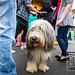 Old English Sheepdog, Kings Heath Dining Club Street Closure