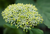 Annabelle (hhmare!) Tags: plant flower annabelle hyazinthe canon24105mml4