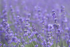 When Life Gets Blurry. . . Adjust Your Focus (Synapped) Tags: second lavender flower field purple oregon lake oswego