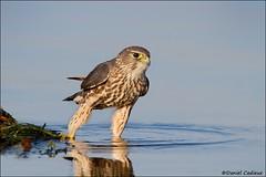 Merlin Testing the Waters (Daniel Cadieux) Tags: beach water river ottawa raptor merlin falcon