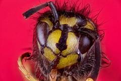Just out of bed (andabata) Tags: wesp wasp commonwasp vespulavulgaris macro closeup gewonewesp yellow geel zwart black red rood