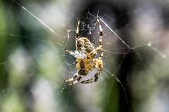 Spinning the web (blueb3ll) Tags: spiders web spinning arachnids spidersilk 201606 blueb3ll