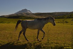 Hest - Horse (ArveBerntzen) Tags: horse norway caballo cheval norge nikon norwegen noruega tamron cavallo cavalo pferd norvegia hest norvege equus hevonen paard cavall norsk  noorwegen helgeland hst norvge nikond3200 nordland norja   8800 ko  sandnessjen hestur alsten fv17   konj evalo   tjtta petterdass kystriksveien  alsta brauten    tamron18270 petterdassmuseet kystriksvegen  tjttaveien alstahaugveien helgelandsveien