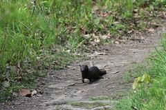 American mink 020 (chuckbarnes855) Tags: mink