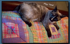 Play Time (gtncats) Tags: pet cat eyes feline quilt sweet adorable siamese playful loved photographyforrecreation canonpowershotg16 infinitexposure