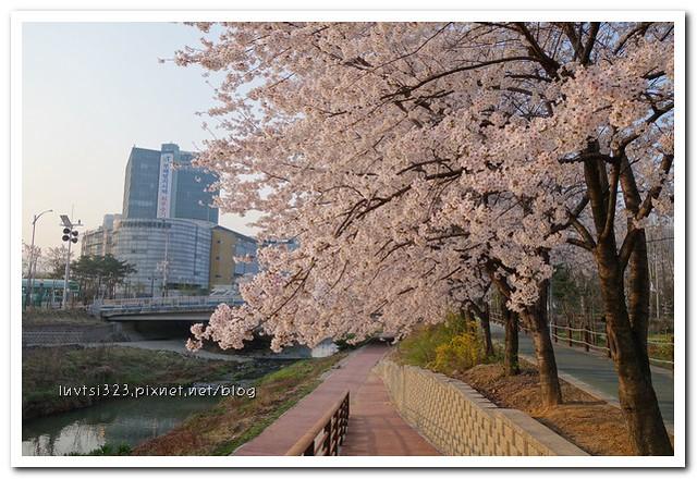 양재천벚꽃07