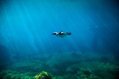 Underwater bird (iveheard77) Tags: zoo penguin poland afrykarium
