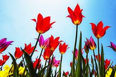 Wamego Tulips (Kansas Poetry (Patrick)) Tags: tulips kansas flinthills wamego wamegoks patrickemerson patricknancyforever