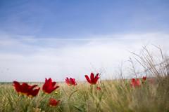 Wild tulip in Russia (Vadim Kvasov) Tags: wild nature russia tulip steppe rostov