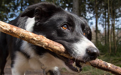 Mac Has a Stick (Bas Bloemsaat) Tags: sun woods sheepdog bordercollie friesland